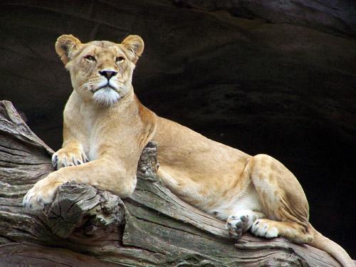 Löwe Weiblich