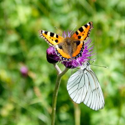 Schmetterlinge (c)Martin Ostheimer / PIXELIO