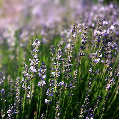 Lavendel(c)Rainer Sturm/PIXELIO