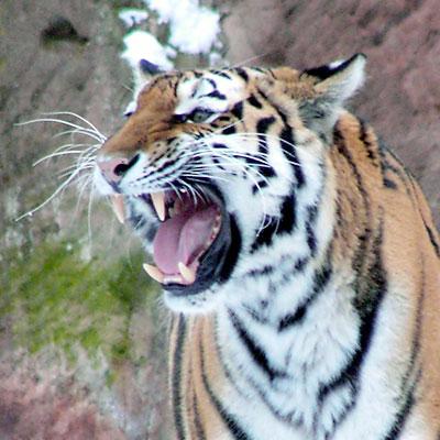 Tiger(c)streuner/PIXELIO