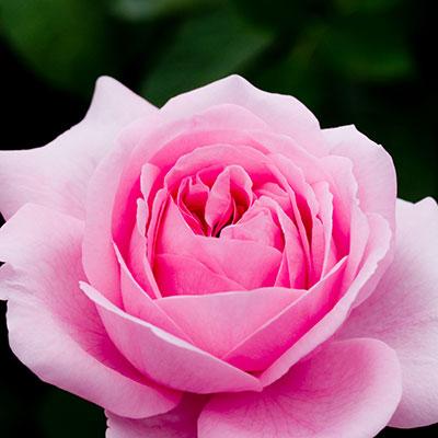 Rose(c)hirekatsu/SXC