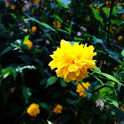 Mellow Yellow Flower