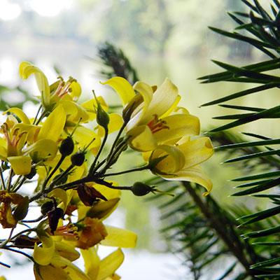 Blüten am Herrensee in Litschau