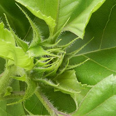 Sunflower - noch nicht erblüht
